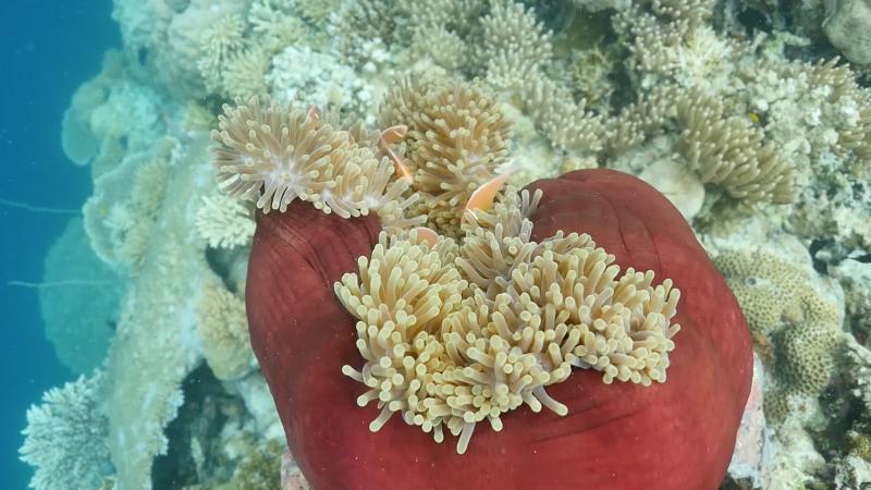 Clown Fish Swims Inside A Sea Anemone Underwater In Palau.